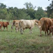 Troupeau Limousin