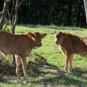 Veaux Limousins